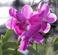 Thai-Orchids