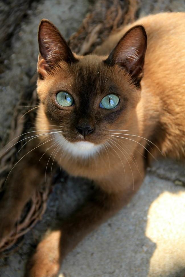 thai_cat