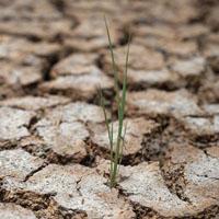 высохшее во время засухи в Таиланде рисовое поле с одиноким ростком