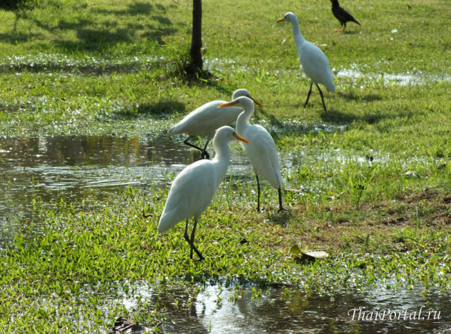 белые цапли в парке Suan Rot Fai на севере Бангкока