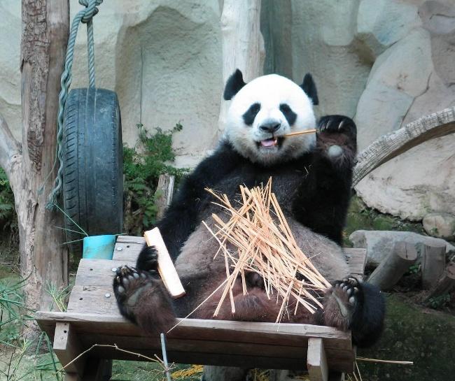 chiang-mai-panda
