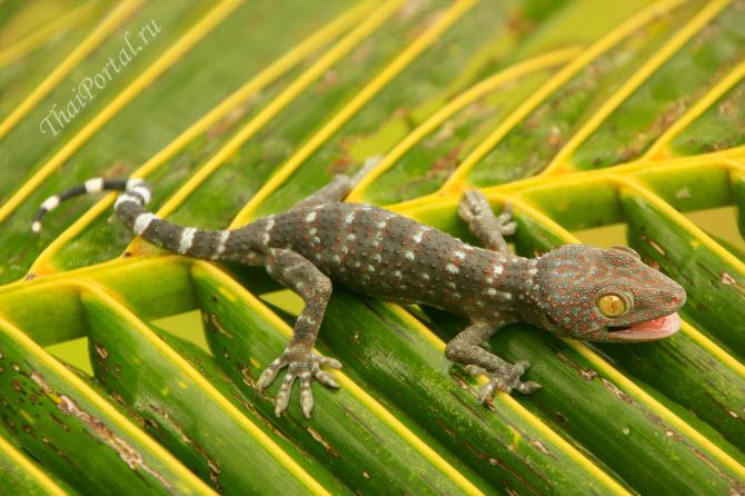 геккон токи ползет по пальмовому листу, тайский национальный морской парк Ангтхонг