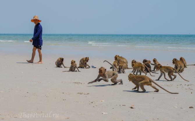 стая обезьян резвится на городском пляже Хуахина