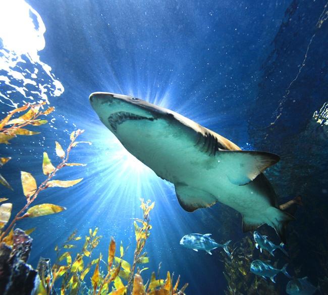 акула в бангкокском океанариуме, вид снизу из туннеля