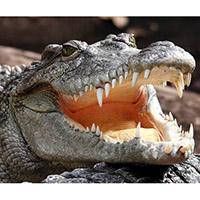 разведение крокодилов на фермах в Таиланде - дело хлопотное