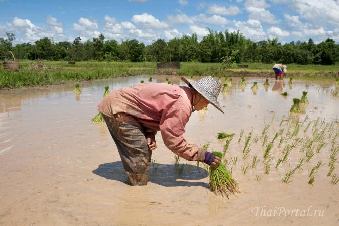 труд на рисовых полях в Юго-Восточной Азии тяжелый и низкооплачиваемый