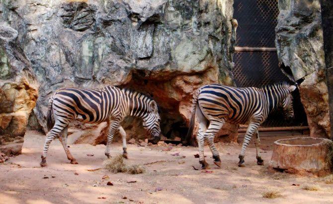 бангкокский зоопарк Дусит в самом центре Бангкока был знаменит зебрами, жирафами, розовыми фламинго и прочими экзотическими для Таиланда животными