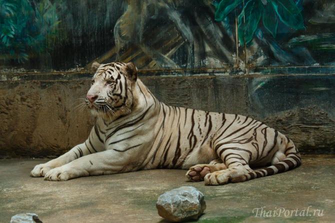 белый тигр в зоопарке Бангкока