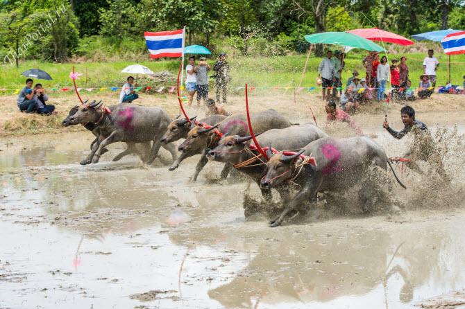 гонки буйволов wing kwai на рисовом поле в провинции Чонбури