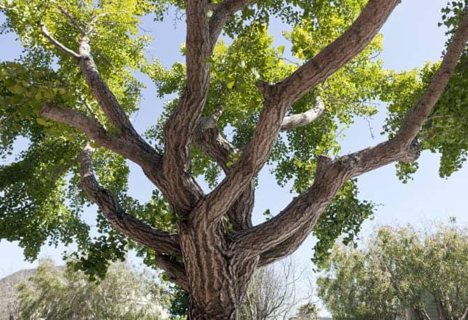 так выглядит старое дерево гинкго билоба